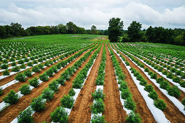 Hemp farm growing CBD